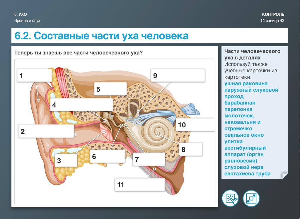 Составные части уха человека
