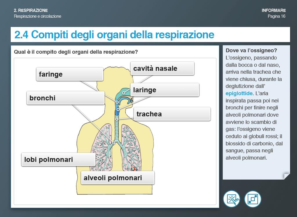Compiti degli oranghi della respirazione